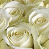 Фартук ПВХ Белые Розы 600*3000*1,3мм (5)