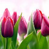 Фартук ПВХ Тюльпаны 600*3000*1,5мм (5)