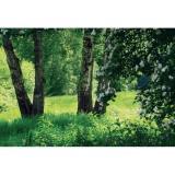 Березовая поляна Фотообои 9л 300х201см (Тула)